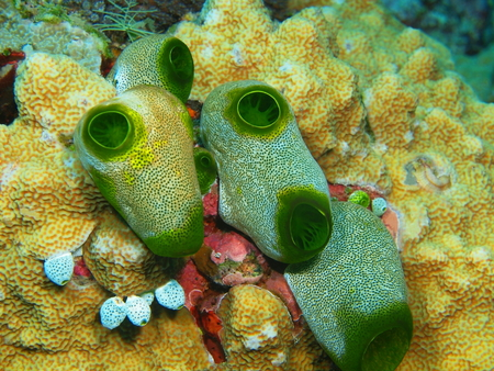 Sea squirts, North Sulawesi, Bunaken Island Stock Photo