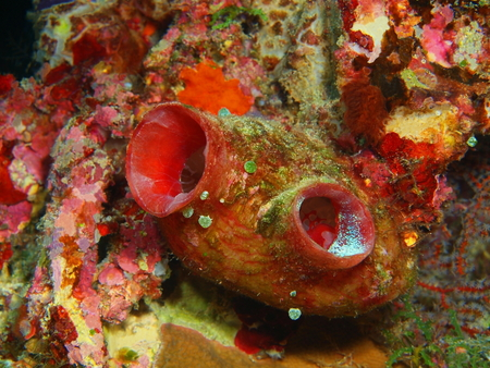 Sea squirt, North Sulawesi, Bunaken Island