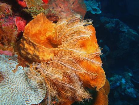 Crinoid, North Sulawesi, Bunaken Island