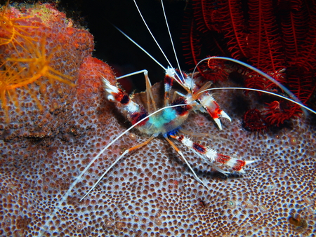 Cleaner shrimp, North Sulawesi, Bunaken Island
