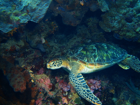 Sea turtle, North Sulawesi, Bunaken Island