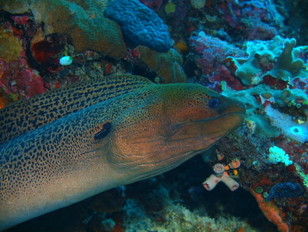 Moray eel, North Sulawesi, Bunaken Island