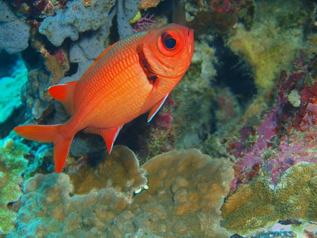 Coral fish, North Sulawesi, Bunaken Island Stock Photo