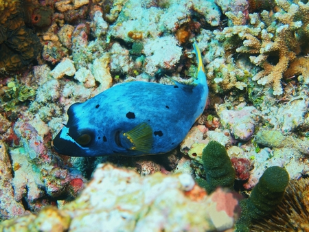 Boxfish, North Sulawesi, Bunaken Island Stock Photo