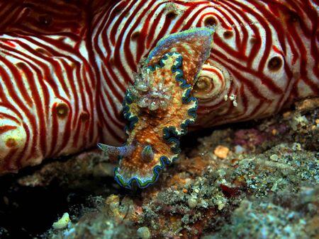 Sea slug on cucumber, Indonesia, North Sulawesi, Manado