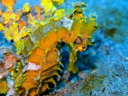Seahorse, Indonesia, North Sulawesi, Manado Stock fotó