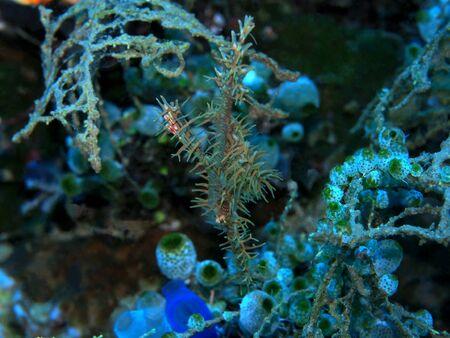 Seahorse, Indonesia, North Sulawesi, Manado