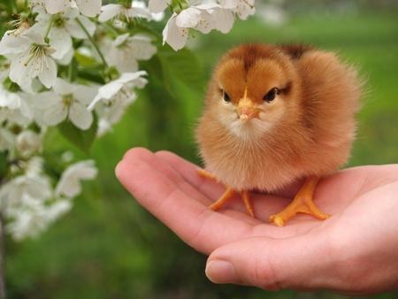 Chicken in a palm         photo