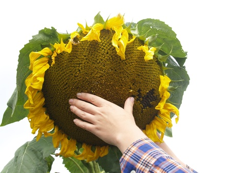 Hand on a sunflower on a white background      photo