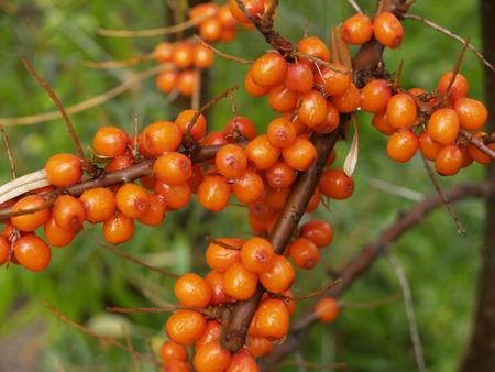 Sea-buckthorn berries photo