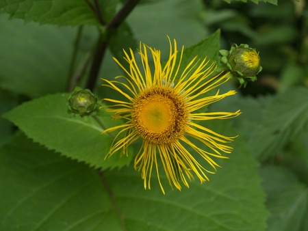 Blossoming  high (Inula helenium L.)