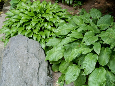 Hosta  Funkia  of a grade of  Celtic Uplands  Stock Photo