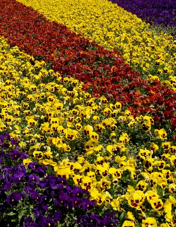 floriculture: Flower bed from pansies       Stock Photo
