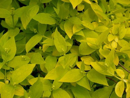Background from young flavovirent leaves of a chubushnik Stock Photo