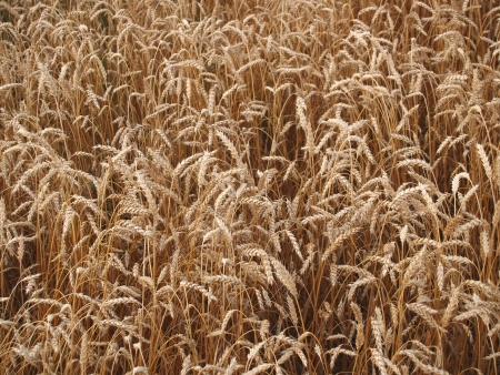 Wheat ears photo