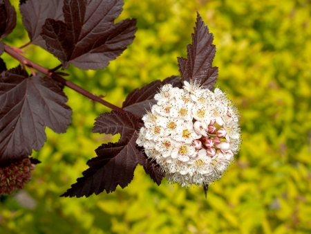 Inflorescence of a puzyreplodnik of kalinolistny  Physocarpus opulifolius , Diabolo grade  or Purpureus  Stock Photo