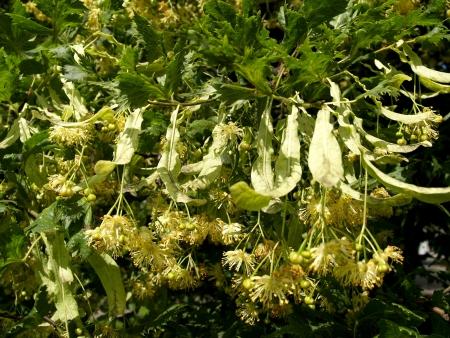 tilia:  Blossoming linden European, a form razreznolistny  Tilia europaea L , f  laciniata