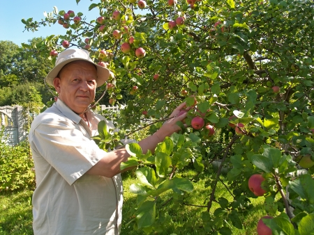 50 to 55 years old: The man gathers apples on a garden site