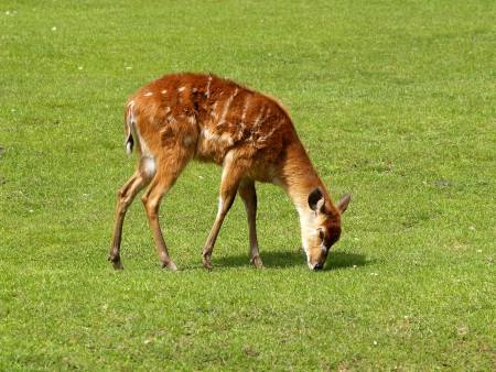 grazed: The female of an antelope of Sitatunga is grazed on a meadow Stock Photo