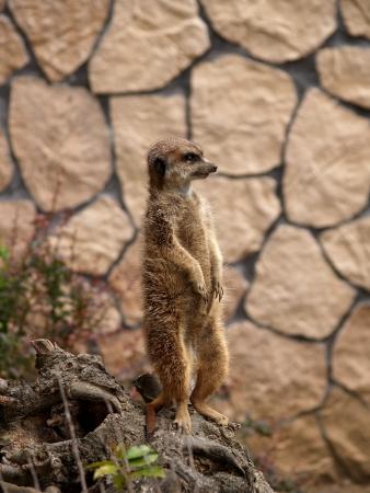 herpestidae: Surikat or meerkat