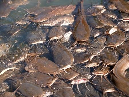 Feeding of som in the Jordan River, Israel Stock Photo - 16995463