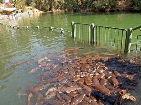 Feeding of som in the Jordan River, Israel Stock Photo - 16995480