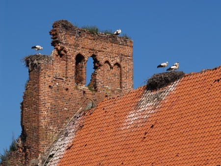 Colony of storks on ruins of old German churchthe