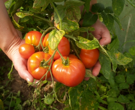 Crop of tomatoes in hands photo