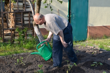 The elderly man waters a kitchen garden from a watering can photo