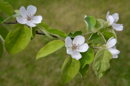 Branch of a blossoming quince of oblong  Cydonia oblonga  photo