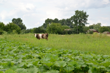 Rural landscape with a being grazed cow photo