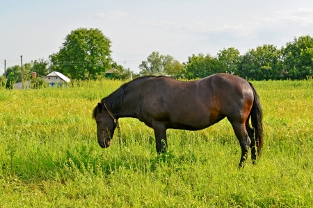 grazed: The horse of black color is grazed on a meadow