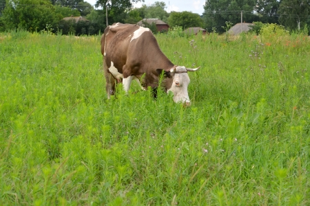 grazed: Rural landscape with a being grazed cow