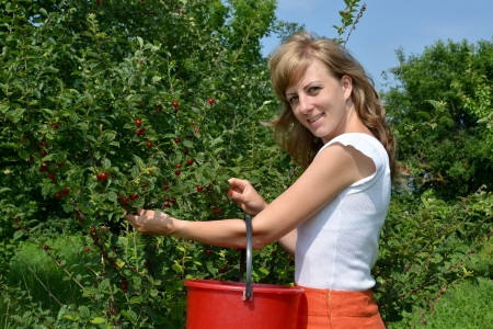 gathers: The young woman gathers cherry in a garden