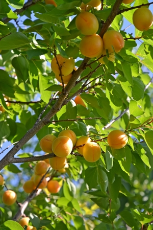 Branch of an apricot tree with ripe fruits photo