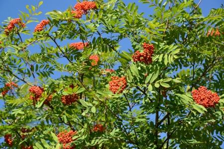 sorbus aucuparia: Mountain ash ordinary  Sorbus aucuparia L    against the blue sky
