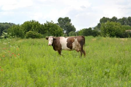 The motley cow is grazed on a pasture photo