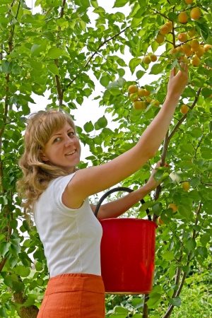 The young woman collects apricots in a garden photo