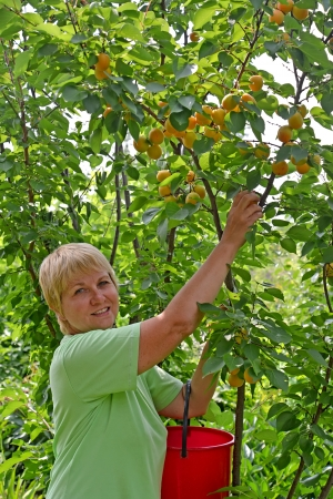 The woman collects apricots in a garden photo