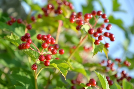 guelderrose: Guelder-rose berries against the blue sky