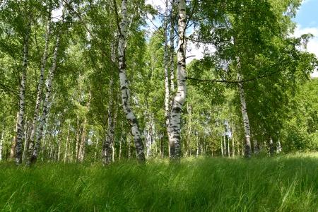 The birch wood Stock Photo