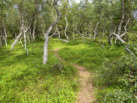 Footpath among  dancing  birches on the Big Solovki island photo