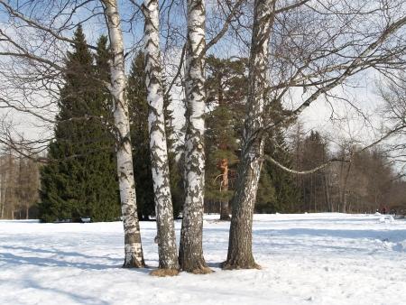 Pavlovsk  Birches in winter park Stock Photo - 23447087