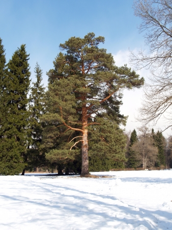 Pine in winter park photo