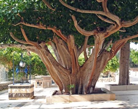 Ficus religious, Sacred fig  Ficus sacred , Ficus religiosa L Stock Photo