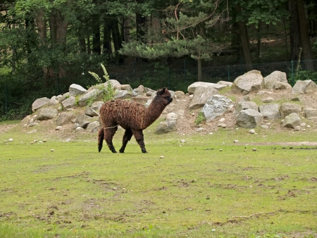 The alpaca in a zoo photo
