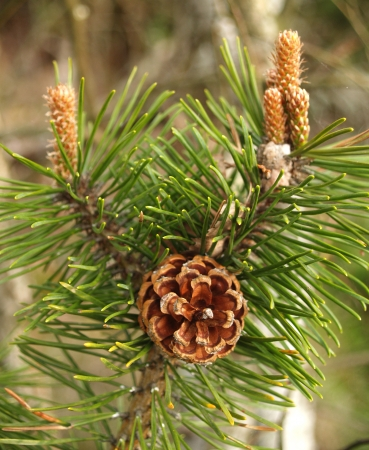 pinaceae: Escapes of a pine ordinary with cones and kidneys  Pinus sylvestris L    Stock Photo