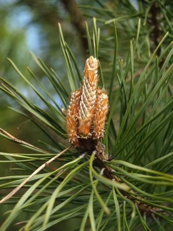 Buds of a pine ordinary (Pinus sylvestris L. ) Stock Photo