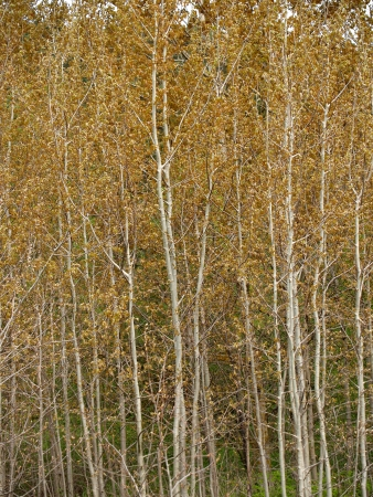 grew: Aspens ordinary grew       Stock Photo
