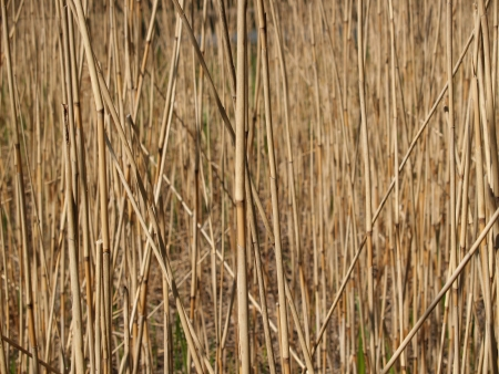 phragmites: Background from a dry reed ordinary